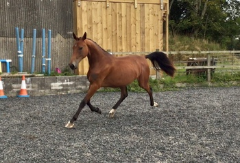 Outstanding Potential Dressage 2 yr old Filly by Lord Leatherdale