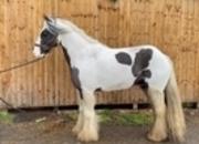 Traditional  cob gelding
