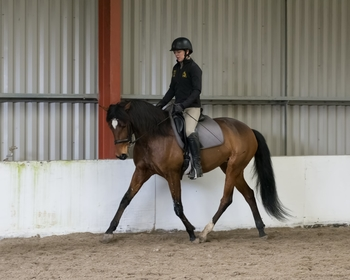 15.3 8 year old Lusitano Mare