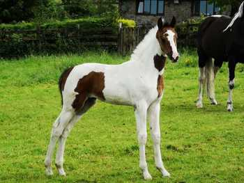 Super Dressage/Eventing Filly