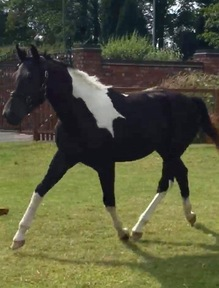 Stunning AES Reg Sports/Show/Competition Horse