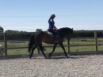 Lovely Connemara mare
