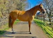 Stunning all round gelding
