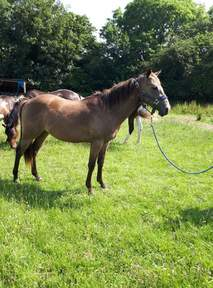 2year old American Quarter horse for minimum five year loan