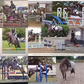 13.2hh pony club show jumping pony