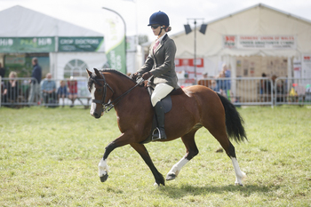 super stunning welsh section c mare