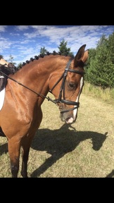 Talented Mare For Sale