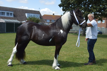 Friesian cross cob
