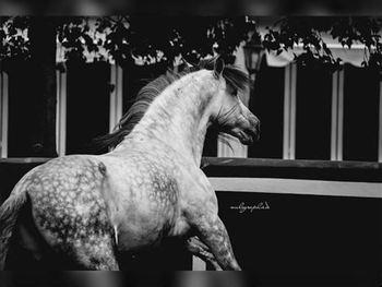 6 year-old - P.R.E. - Stallion - 1624 hh - Spain