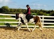 Bingo - adorable gelding, ideal for pony club!
