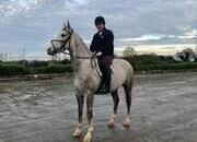 Gentle Giant! 5 year old Irish Draught Gelding