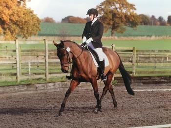11 year British Sport Horse Mare