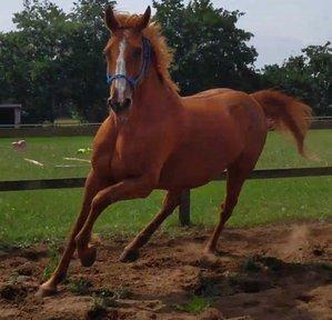 Beautiful Chestnut Mare 16'2 Irish Sports Horse