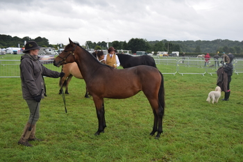 Yearling Connemara Filly