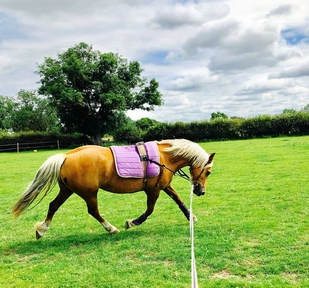 Princess- 13.2hh 11year old Welsh D mare