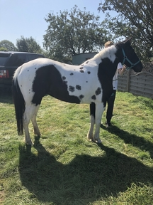 Project pony for sale