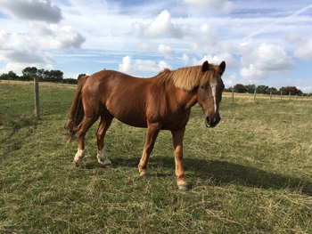 Mac 14.1, 19yo , part New Forest Pony