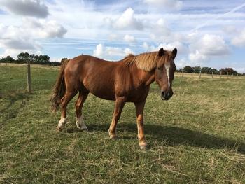 Mac 14.1, 19yo , part New Forest Pony