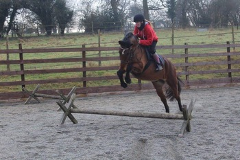 15.1 13 year old bay gelding