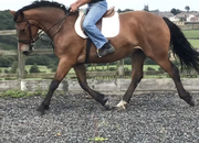 Full Registered 16.3 hh Irish Draught Mare By Heigh Ho Silver