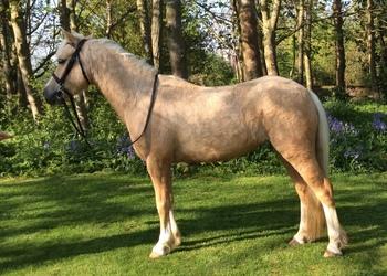 11.3hh Pretty Palomino mare for sale