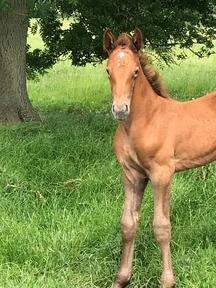 irish draught filly foal
