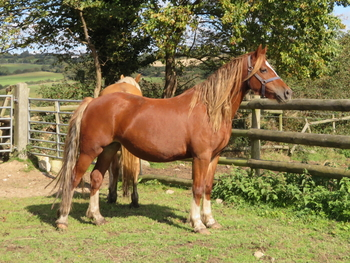 PRETTY WELSH COB SECTION D MARE WITH EXCELLENT BLOODLINES - OTHER SHOW QUALITY STOCK AVAILABLE FOR SALE