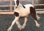 Registered Irish Draught X Irish Sport Horse Colt To Mature 16 hh