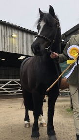 Stunning welsh x show pony