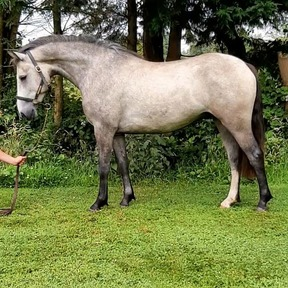 SOLD visit Gormley Horses Direct GHD for similar on FB