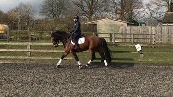 Stunning allrounder/riding club horse