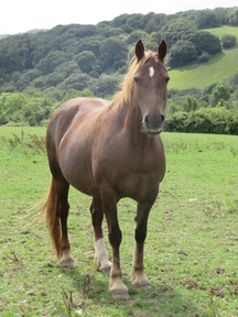 SELECTION OF QUALITY WELSH COB SECTION D MARES AND WELSH PART-BREDS OF VARIOUS AGES - INCLUDING A COVERING IF REQUIRED