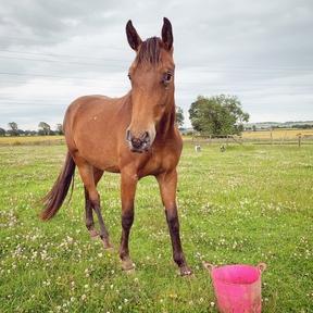 2 year old Appaloosa mare