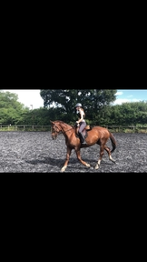15.3hh chestnut mare for part loan
