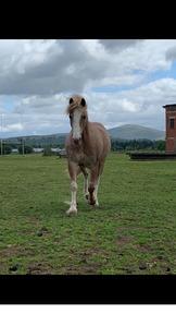 *128cm, 11yo Welsh pony for sale*
