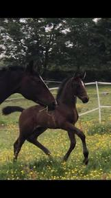 Stunning 2019 Irish Sport Horse Colt Foal