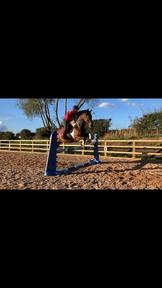Stunning 16.2 British Sports Horse