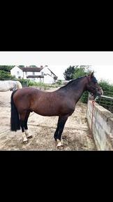 Welsh section C x Hackney stallion