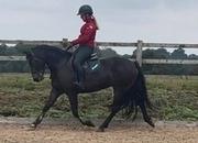 stunning 14.3hh Bay mare