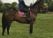 9yr Old 16.1hh all-rounder for sale