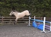 Stunning Dun Pure Connemara jumping pony