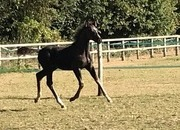 ** OPEN TO OFFERS ** BEAUTIFUL DRESSAGE COLT 2019 - FRANZ FERDINAND x DANCIER/BELISSIMO M