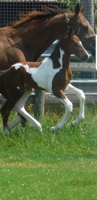 Striking coloured show/dressage colt foal