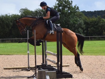 16.2hh allrounder for sale