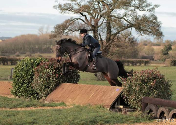 16hh bay mare for sale