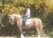 Lady in Gold 7 year old Dressage Diva