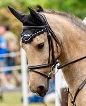 Potencial Hunting Pony