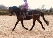 Flybynight 16.2hh Mare