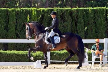 Beautiful Andalusian Stallion - GP level