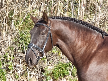 Beautiful black Andalusian Stallion - top trained